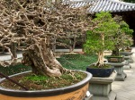 Bonsai at Chi Lin Nunnery in Hong Kong