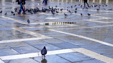 Piazza San Marco pigeons